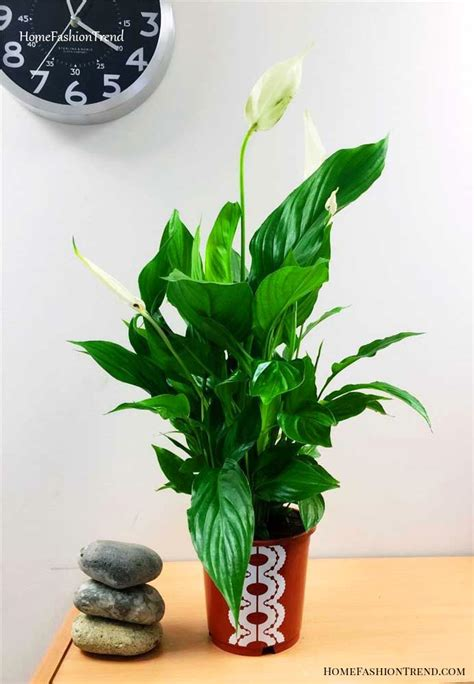 Lily of the Peace: How to Care and 65 Ideas for Decorating