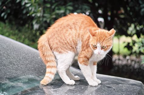 Why Cats Arch Their Backs | Joy of Living