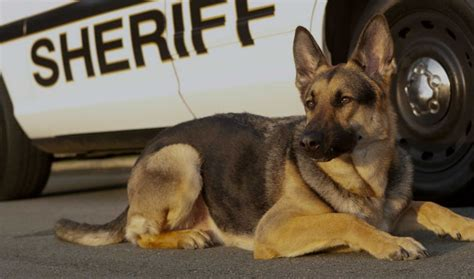 100+ Police Dog Names – Best K9 Military Puppy Names for